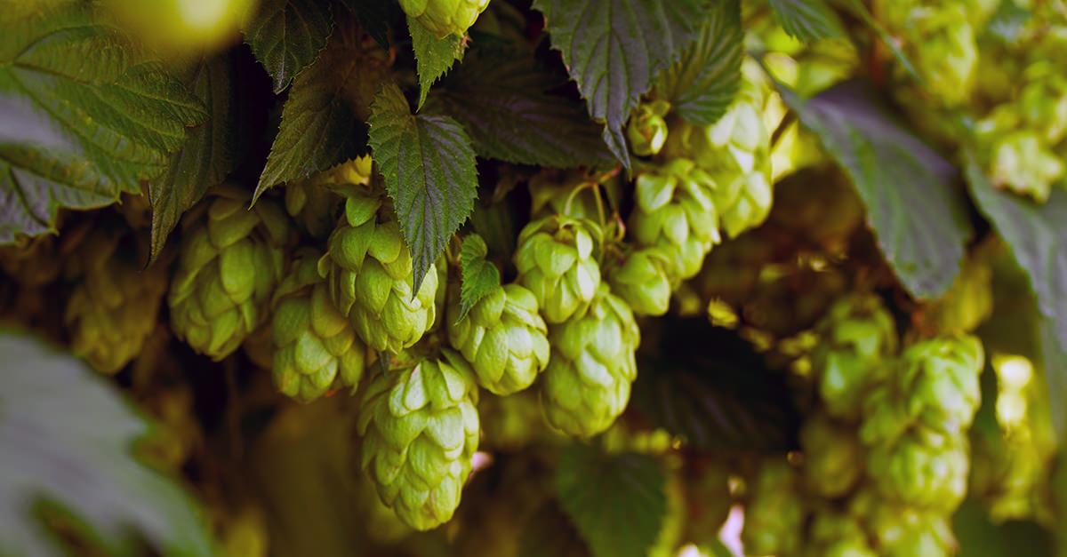 Bảo quản hoa bia để không ảnh hưởng đến chất lượng
